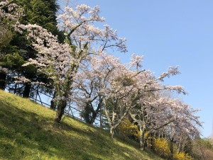 【画像】東日本大震災支援・鯉のぼりプロジェクト_桜満開